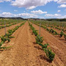 Chardonnay – 11200